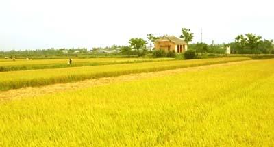 Tả cánh đồng lúa chín vào buổi ban mai