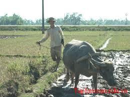 Tả bác nông dân đang cày ruộng