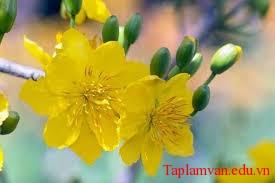 hoa mai1 - Tản mạn với hoa mai