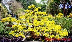 Mai vàng biểu tượng của mùa xuân