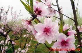 """Một nốt trầm xao xuyến đọc """"Mùa xuân nho nhỏ """" của Thanh Hải"""