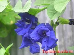 Nụ tầm xuân nở ra xanh biếc