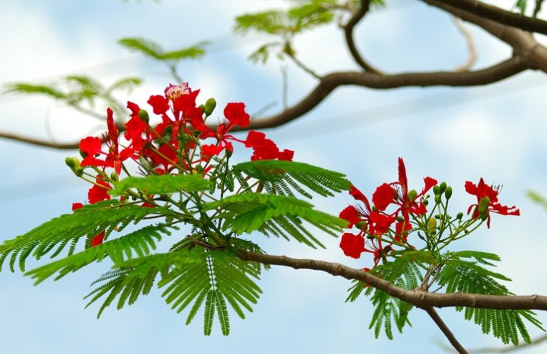 van bieu cam ve cay phuong lop 7 hay nhat - Văn biểu cảm về cây phượng lớp 7 hay nhất